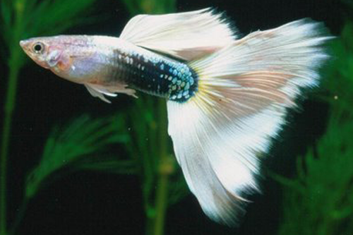 If you are looking for a platform to view , buy and sell high quality and high breed guppies ...